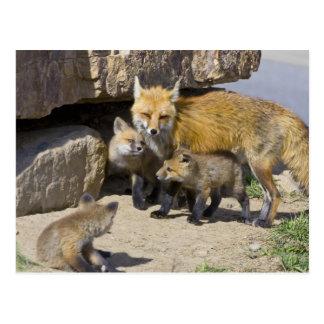 USA, Colorado, Breckenridge. Red fox mother 4 Postcard