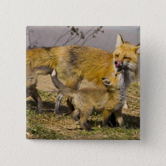 USA, Colorado, Breckenridge. Red fox mother Button