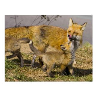 USA, Colorado, Breckenridge. Red fox mother Postcard