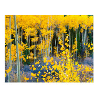 USA, Colorado. Bright Yellow Aspens In Rockies 2 Postcard
