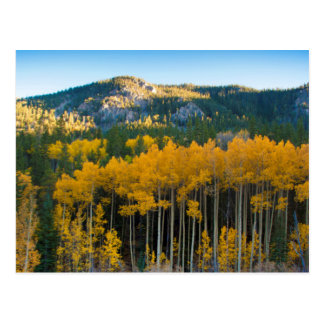 USA, Colorado. Bright Yellow Aspens in Rockies Postcard