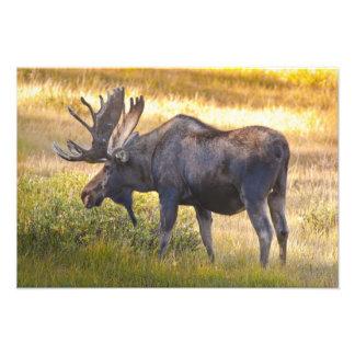 USA, Colorado, Cameron Pass. Bull moose with Photograph