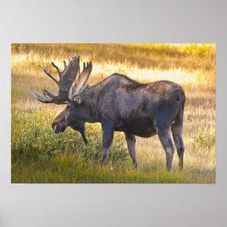 USA, Colorado, Cameron Pass. Bull moose with Poster