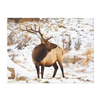 USA, Colorado, Close-Up Of Bull Elk Canvas Print