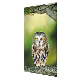 USA, Colorado. Close-up of northern saw-whet owl Canvas Print