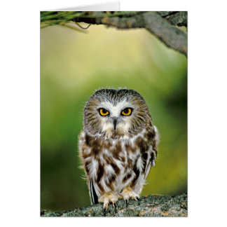 USA, Colorado. Close-up of northern saw-whet owl Card