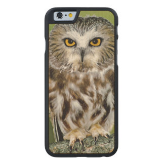 USA, Colorado. Close-up of northern saw-whet owl Carved® Maple iPhone 6 Case