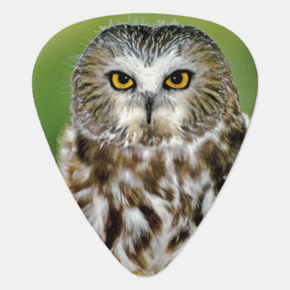 USA, Colorado. Close-up of northern saw-whet owl Guitar Pick