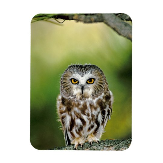 USA, Colorado. Close-up of northern saw-whet owl Magnet