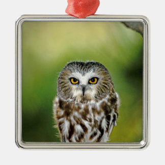 USA, Colorado. Close-up of northern saw-whet owl Metal Ornament
