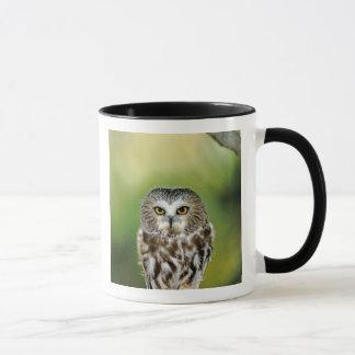 USA, Colorado. Close-up of northern saw-whet owl Mug