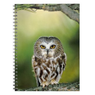 USA, Colorado. Close-up of northern saw-whet owl notebook