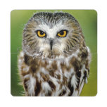 USA, Colorado. Close-up of northern saw-whet owl Puzzle Coaster