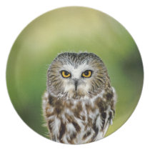 USA, Colorado. Close-up of northern saw-whet owl Plate