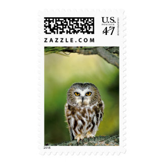 USA, Colorado. Close-up of northern saw-whet owl Postage