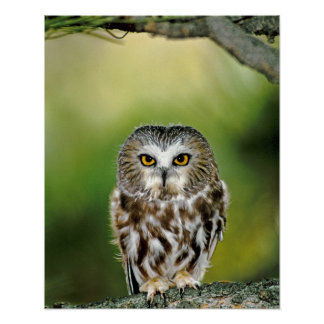 USA, Colorado. Close-up of northern saw-whet owl Poster