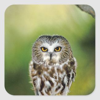 USA, Colorado. Close-up of northern saw-whet owl Square Sticker