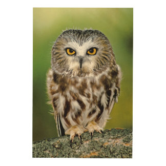 USA, Colorado. Close-up of northern saw-whet owl Wood Prints