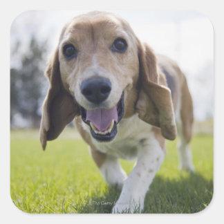 USA, Colorado, curious dog walking towards Square Sticker