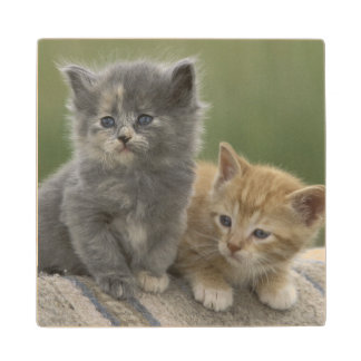 USA, Colorado, Divide. Two barn kittens pose on Maple Wood Coaster