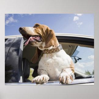 USA, Colorado, dog looking through car window 2 Poster