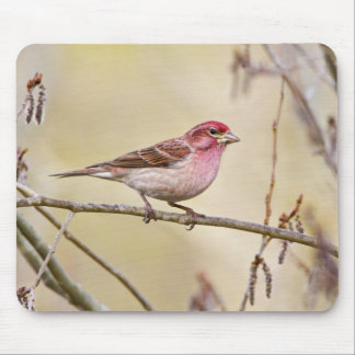 USA, Colorado, Frisco. Cassin's finch on limb. Mouse Pad