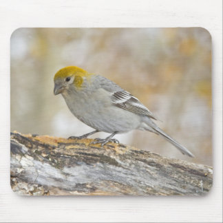 USA, Colorado, Frisco. Close-up of female pine Mouse Pad