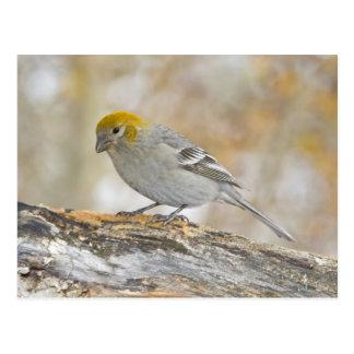 USA, Colorado, Frisco. Close-up of female pine Postcard