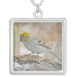 USA, Colorado, Frisco. Close-up of female pine Silver Plated Necklace