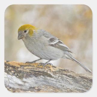 USA, Colorado, Frisco. Close-up of female pine Square Sticker