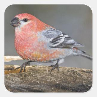 USA, Colorado, Frisco. Close-up of male pine Square Sticker