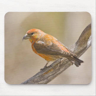 USA, Colorado, Frisco. Close-up of male red Mouse Pad