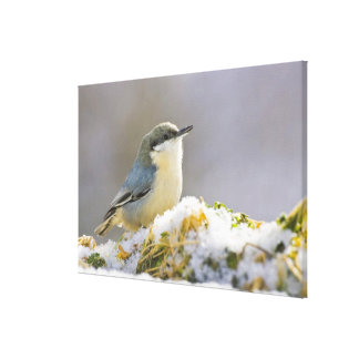 USA, Colorado, Frisco. Close-up of pygmy Canvas Print