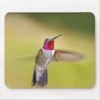 USA, Colorado, Frisco. Frontal view of male Mouse Pad