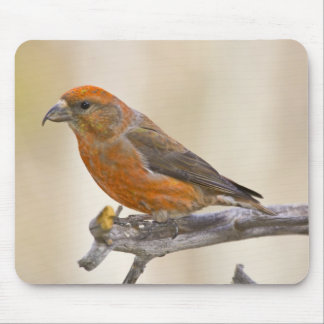 USA, Colorado, Frisco. Portrait of male red Mouse Pad