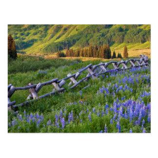 USA, Colorado. Lupines and split rail fence Postcard