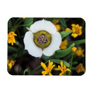 USA, Colorado. Mariposa tulip Magnet