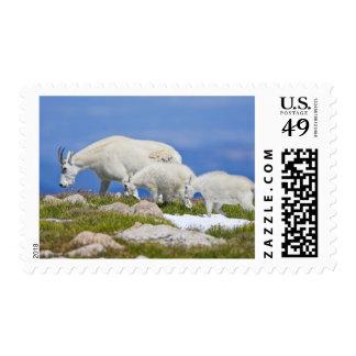 USA, Colorado, Mount Evans. Close-up of female Postage Stamp