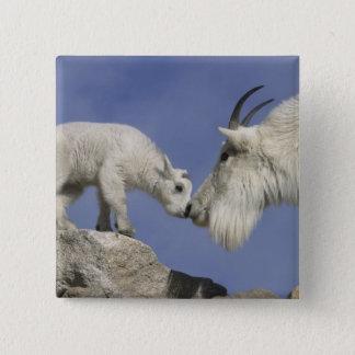 USA, Colorado, Mount Evans. Mountain goat mother Button