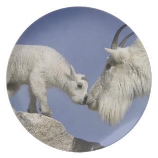 USA, Colorado, Mount Evans. Mountain goat mother Dinner Plate