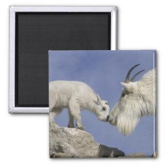 USA, Colorado, Mount Evans. Mountain goat mother Magnet