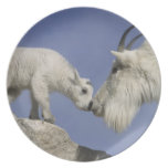USA, Colorado, Mount Evans. Mountain goat mother Dinner Plate