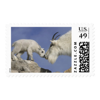 USA, Colorado, Mount Evans. Mountain goat mother Stamp