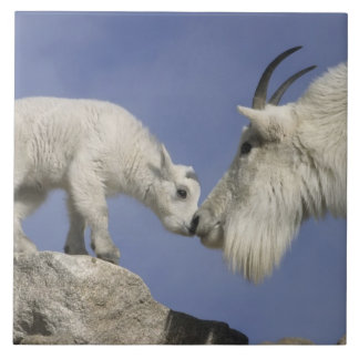 USA, Colorado, Mount Evans. Mountain goat mother Tile
