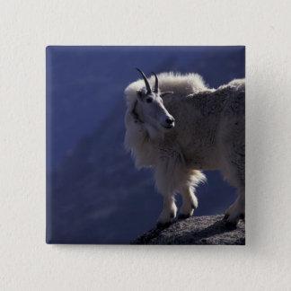 USA, Colorado, Mountain goat (Oreamnos Button
