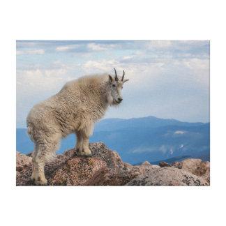 USA, Colorado, Mt. Evans. Mountain Goat Stands Canvas Print