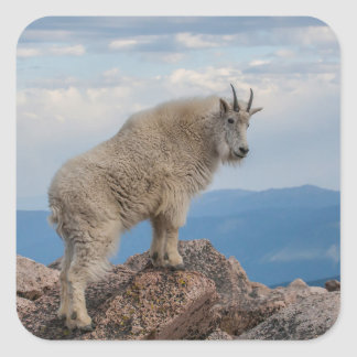 USA, Colorado, Mt. Evans. Mountain Goat Stands Square Sticker