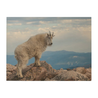 USA, Colorado, Mt. Evans. Mountain Goat Stands Wood Wall Art