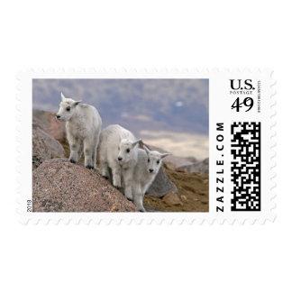 USA Colorado Mt Evans Three mountain goat Stamp