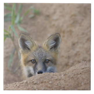 USA, Colorado, Pike National Forest. Shy red fox Ceramic Tile